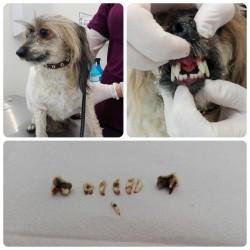 Dantų apnašų valymas šunims ir katėms su narkoze