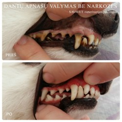Dantų apnašų valymas šunims ir katėms be narkozės